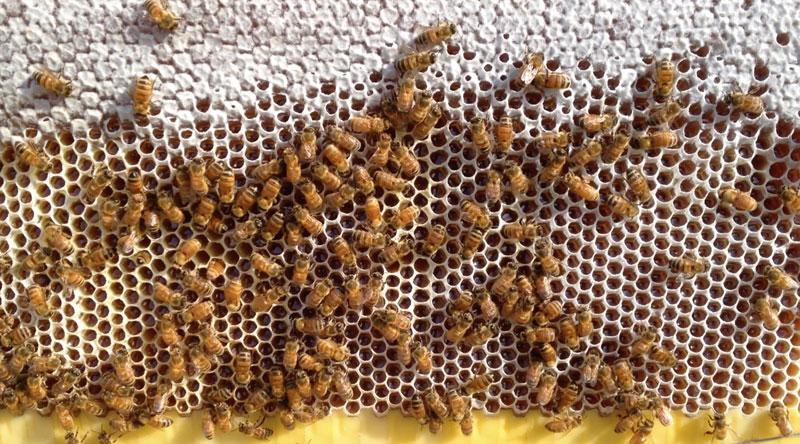 flow hive honey on tap (2)
