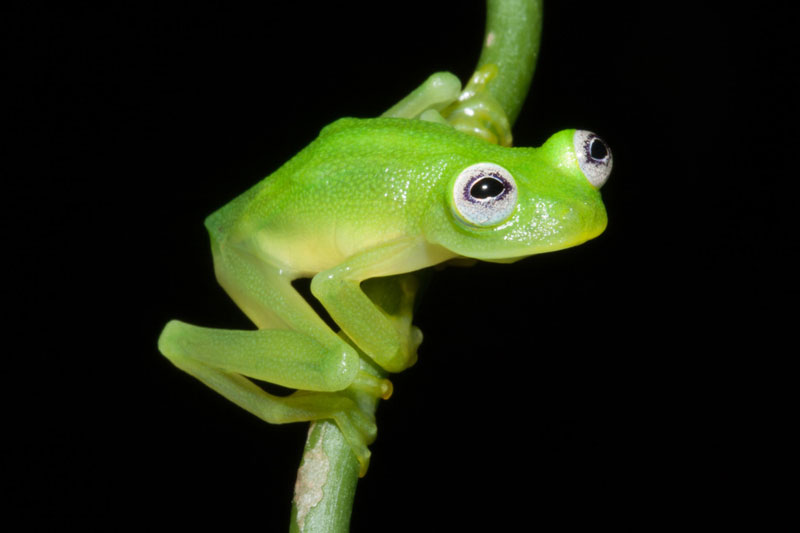 Picture of the Day: Real-Life Kermit the Frog Discovered
