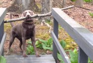 This Dog Just Found the Best Stick in the Forest. Now He Needs to Cross this Narrow Bridge