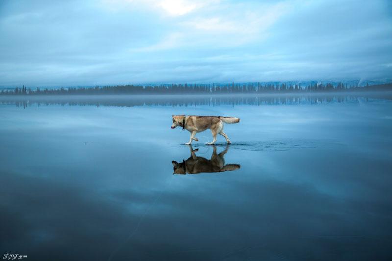 Husky Walks on Water After Heavy Rainfall Covers Frozen Lake Fox Grom (1)