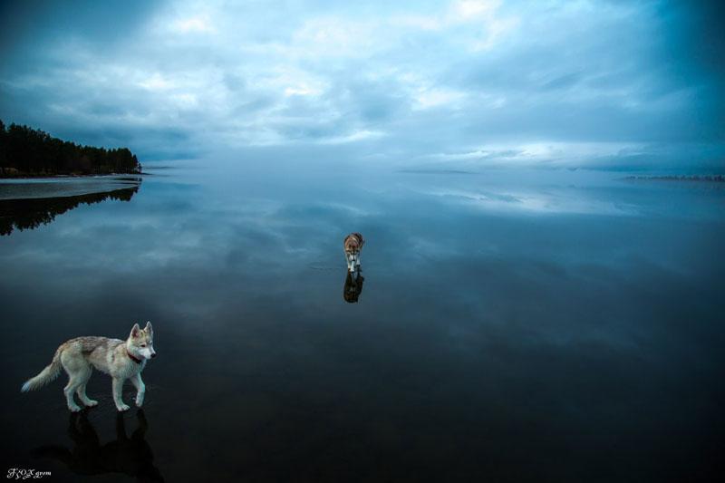 Husky Walks on Water After Heavy Rainfall Covers Frozen Lake Fox Grom (10)