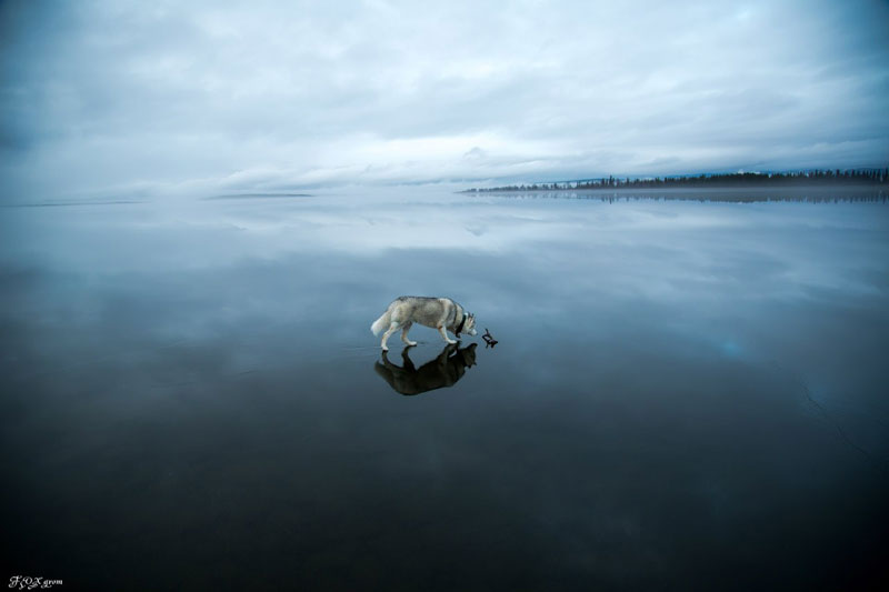 Husky Walks on Water After Heavy Rainfall Covers Frozen Lake Fox Grom (5)