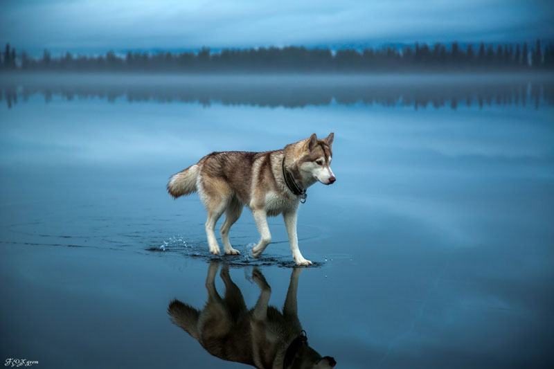 husky walks on water after heavy rainfall covers frozen lake fox grom 7 Mammatus Clouds Look Fascinating, Here are 18 Great Examples