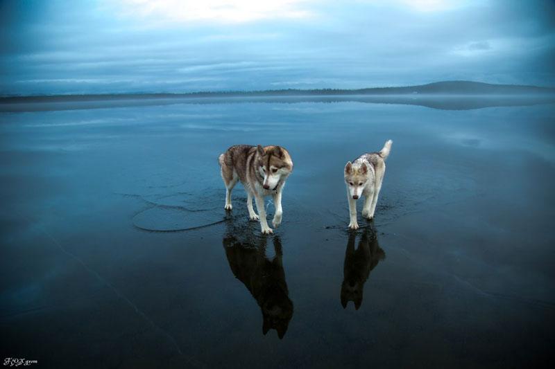 Husky Walks on Water After Heavy Rainfall Covers Frozen Lake Fox Grom (8)