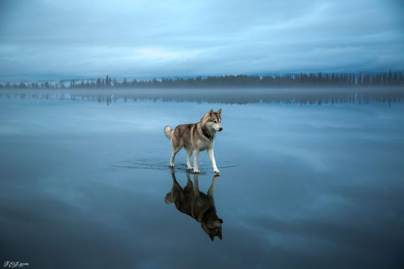 Husky Walks on Water After Heavy Rainfall Covers Frozen Lake Fox Grom (9)