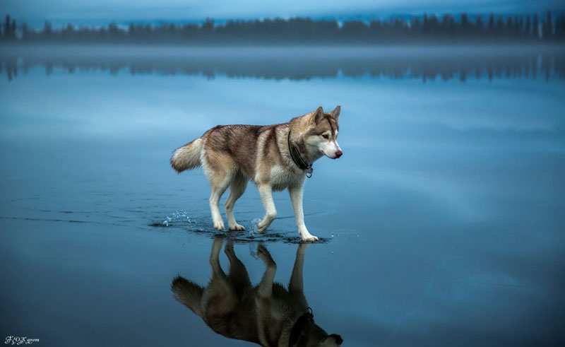 Husky Walks on Water After Heavy Rainfall Covers This Frozen Lake (10 Photos)