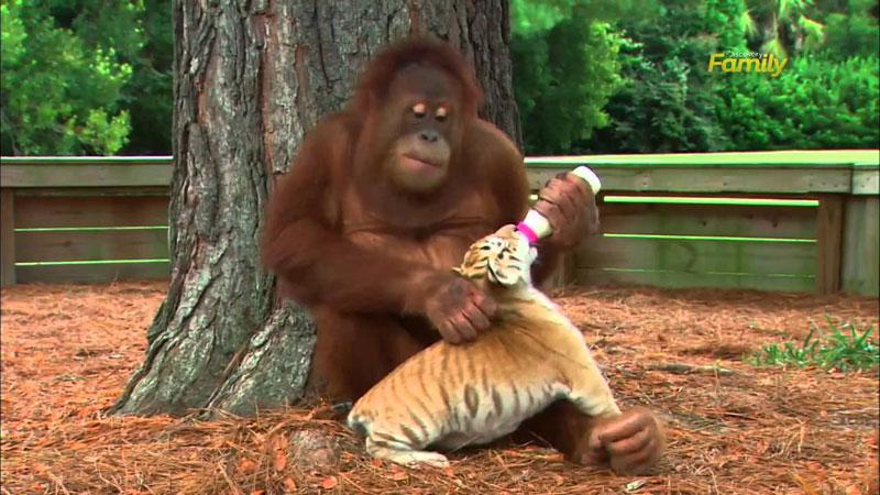 Orangutan Becomes Surrogate Parent to Several Tiger Cubs