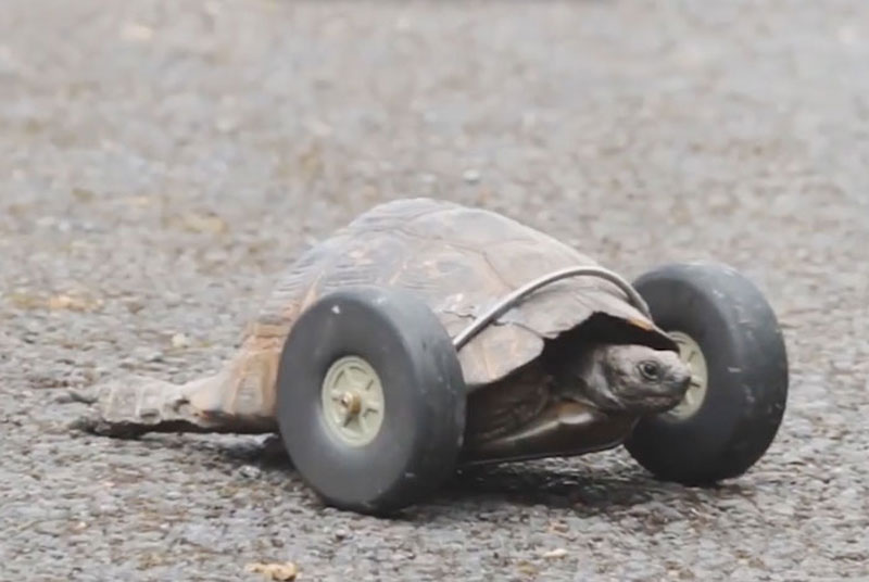 This 90 Year Old Tortoise Lost Her Front Legs, So Her Owners Gave Her a New Set of Wheels (1)