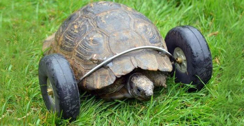 This 90 Year Old Tortoise Lost Her Front Legs, So Her Owners Gave Her a New Set of Wheels (2)