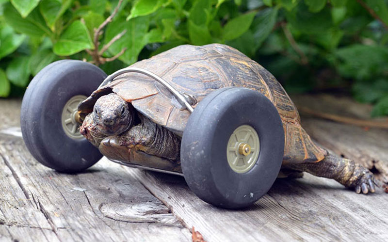 this 90 year old tortoise lost her front legs so her owners gave her a new set of wheels 3 Guy Walks His Pet Tortoise Around the Streets of Tokyo