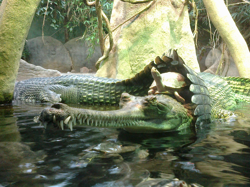 turtle riding crocodile1 Picture of the Day: Just a Turtle Riding a Crocodile