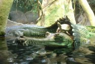 Picture of the Day: Just a Turtle Riding a Crocodile