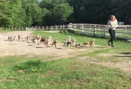 This Running of the Goats is Way Better than the Bull Version