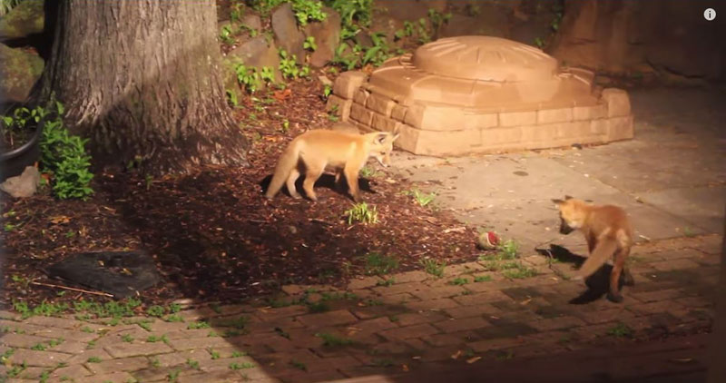 Baby Foxes Sneak Into a Backyard and Play with a Dog's Ball