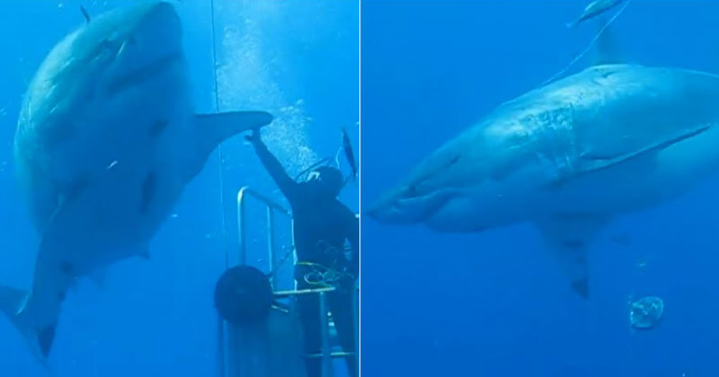 Diver Posts Unreleased Footage of 'Deep Blue', One of the Largest Great Whites Ever Filmed