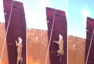 Amazing Dog Jumps Up a 12.8 ft High Wall