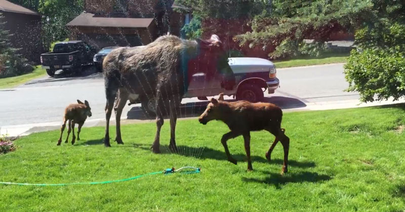 Just a Family of Moose Playing in a Sprinkler