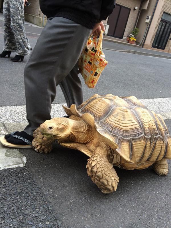 mitani hisao wakls his tortoise around tokyo (3)