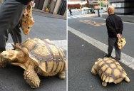 Guy Walks His Pet Tortoise Around the Streets of Tokyo
