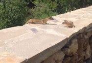 Baby Weasels Following Mom
