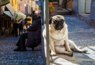 Picture of the Day: Pug Life