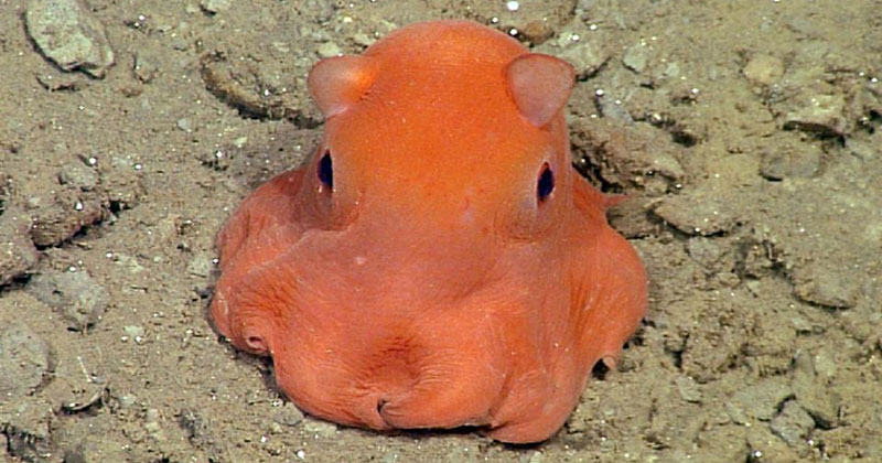 Scientists Want To Call This Unnamed Octopus Species Adorabilis