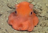 Scientists Want To Call This Unnamed Octopus Species 'Adorabilis'