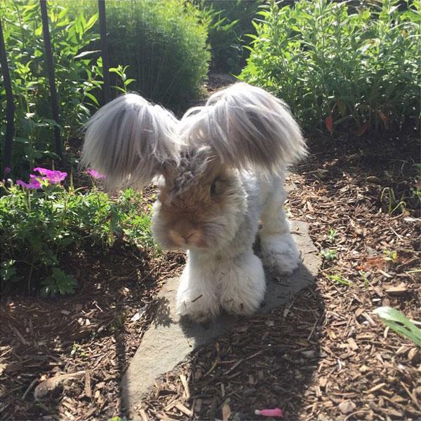 wally the bunny rabbit instagram best ears ever (4)