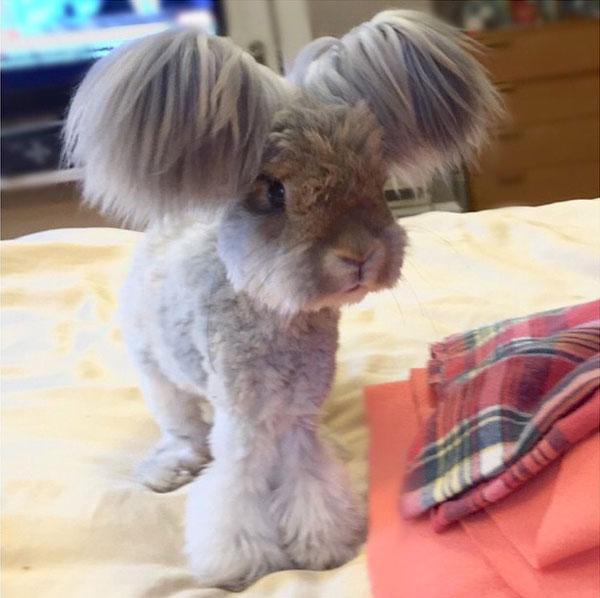 wally the bunny rabbit instagram best ears ever (5)