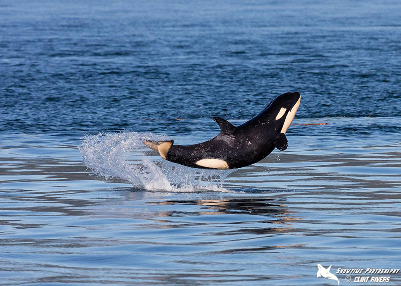 baby orca breaching by clint showtime rivers eagle wing tours Picture of the Day: Baby Orca Breaches Like a Boss
