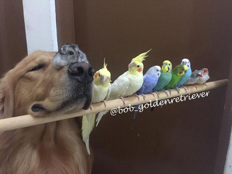 bob the golden retriever bird whisperer (12)