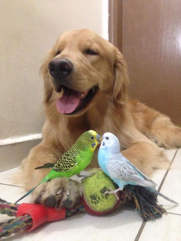 bob the golden retriever bird whisperer (2)
