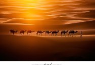 Picture of the Day: Camels Crossing the Sahara