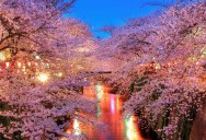 Picture of the Day: Cherry Blossoms in Japan