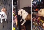 English Bulldog Absolutely LOVES Pinball