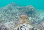 A Turtle Tour of the Great Barrier Reef