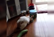 Cat Gets Freaked Out By Cucumber