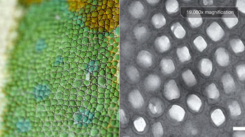 Chameleons Change Color to Stand Out Not Blend In_kqed pbs (1)