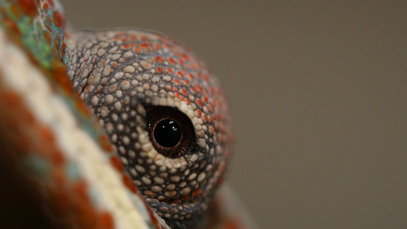 Chameleons Change Color to Stand Out Not Blend In_kqed pbs (2)