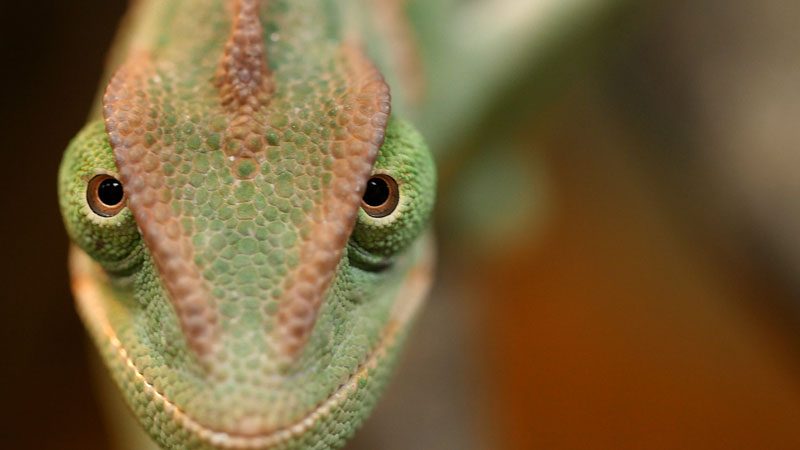 Chameleons Change Color to Stand Out Not Blend In_kqed pbs (4)
