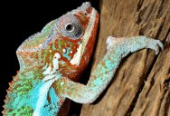 Chameleons Change Color to Stand Out, Not Blend In