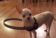 This Dog Lost His Sight So His Owners Made This to Help Him Regain His Confidence
