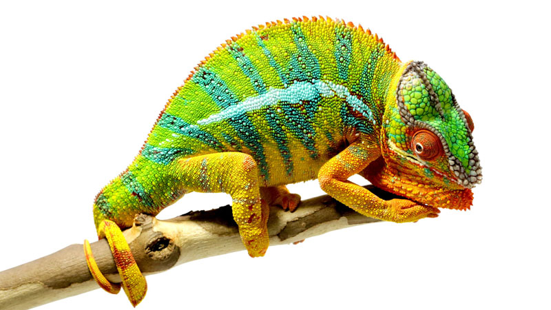 Fascinating Facts About Chameleons by National Geographic