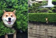 Just a Shiba Inu Chilling in a Random Bush in Japan