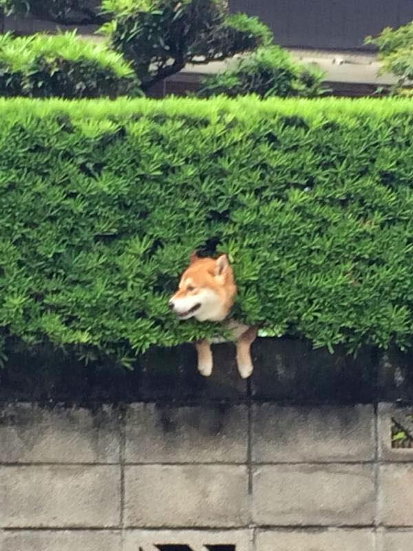 shiba stuck in bush 2 Just a Shiba Inu Chilling in a Random Bush in Japan