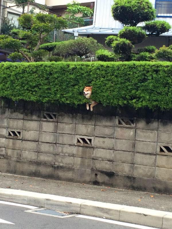 shiba stuck in bush 3 Just a Shiba Inu Chilling in a Random Bush in Japan
