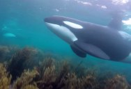 Snorkelers in New Zealand Get Surprise Visit from Orcas