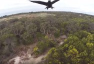 Unimpressed Eagle Swats Drone Out of the Sky