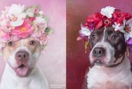 Flower Power: Adorable Portraits of Pit Bulls Waiting to Be Adopted