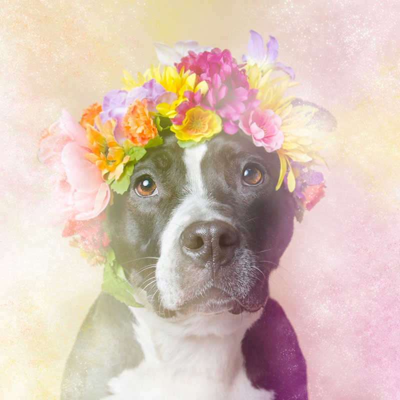 cookies Flower Power: Adorable Portraits of Pit Bulls Waiting to Be Adopted